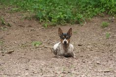 Rat Terriers can get dirty