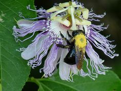 BumbleeBee on Passion Flower