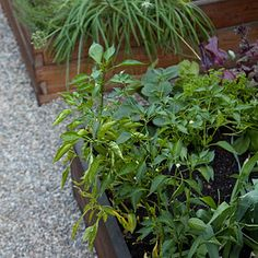 Foodie's backyard: Plan for how you'll pick    Conor tucked his perennial edibles, such as rosemary and artichokes, in with ornamentals. And he planted annual herbs in the corners of the beds where they are easy to harvest.