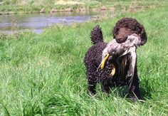 Chocolate Standard Poodle retrieving duck. From the beginning poodles is a dog for hunting ducks. Therefor they have their specially haircuts. To keep the body warm, where it needs but not to be to heavy in the water. It is a reason for everything ;-)