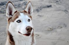 Siberian husky's the dog of my dreaaaams