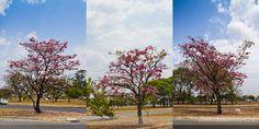 Hélio Campos   Fotografia: Ipês, Flores e outras Cores... ...de Brasília.