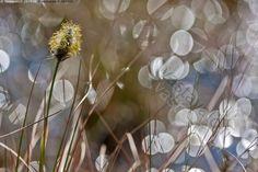 Tupasvillan kevät - tupasvilla suovilla hede tähkä keltainen siitepöly kukinto huhtikuu kevät suokasvi Eriophorum vaginatum kimmellys valohelmi heijastus varjo valopallo tunnelma