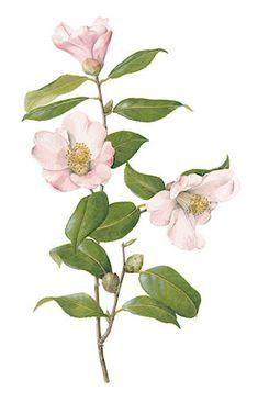 Botanical illustration of a blush camellia