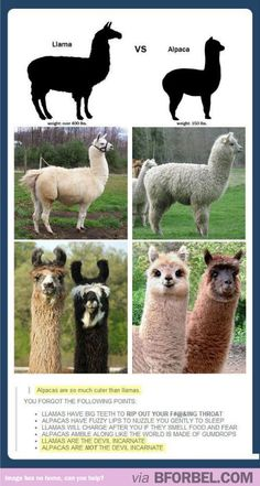 Difference between llamas and alpacas-my husband would intentionally call an alpaca a llama to irritate me. I should send this to him
