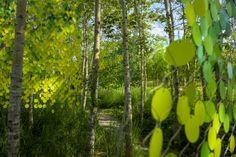 Popple - 2015 - Photo JM-1927  © 2015, Martin Bond, Jardins de Métis/Reford Gardens