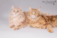Kattenfotografie Den Haag - Foto van de fotoshoot voor twee Maine Coon katten