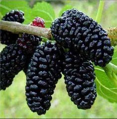 Dud Negru in GradinaMax Mulberry Plant, Mulberry Fruit, Mulberry Bush, Mulberry Tree, Fruit And Veg, Fruits And Vegetables, Black Eyed Susan Vine, Specimen Trees, Fruit Seeds
