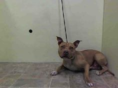 GONE --- Center    UMBERTO - A1004125  *** SAFER: EXPERIENCED HOME ***   MALE, TAN / WHITE, PIT BULL MIX, 2 yrs  STRAY - EVALUATE, NO HOLD  Reason STRAY   Intake condition INJ MINOR Intake Date 06/21/2014, From NY 11432, DueOut Date 06/24/2014  https://www.facebook.com/photo.php?fbid=826743654005182set=a.617938651552351.1073741868.152876678058553type=3theater