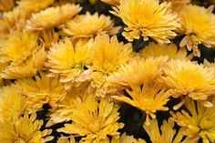 Growing chrysanthemums inside, rather than outside, can help you breathe easier.