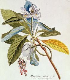 Magnolia glauca from icones plantarium medicinalium by joseph jakob