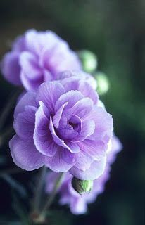 Ängsnäva 'Summer Skies' ~ beautiful double flowers, slow to establish, sun to partial shade, do not water foliage. Amazing Flowers, My Flower, Purple Flowers, Flower Power, Beautiful Flowers, Purple Rose, Beautiful Gorgeous, Hibiscus Flowers, Cactus Flower