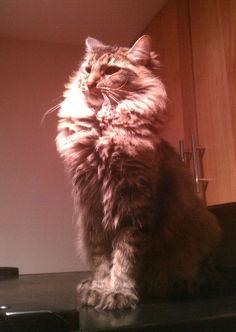 Lion - http://cutecatshq.com/cats/lion/