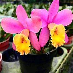 19 Exotic Types of Tropical Flowers for Home Decorations (Various Colors) All Flowers, Exotic Flowers, Tropical Flowers, Amazing Flowers, Beautiful Flowers, Cattleya Orchid, Rare Orchids, Orchid Plants, Trees To Plant