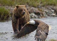Brown Bear and Bald Eagle - Alaska Alaska, Beautiful Creatures, Animals Beautiful, Animals And Pets, Cute Animals, Nature Animals, Wild Animals, Bear Photos, Bear Images