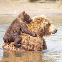 Cute animal pictures, animals and pets, nature animals, cute baby anima Nature Animals, Animals And Pets, Cute Baby Animals, Funny Animals, Baby Pandas, Baby Bears, Cute Bears, Beautiful Creatures, Animals Beautiful
