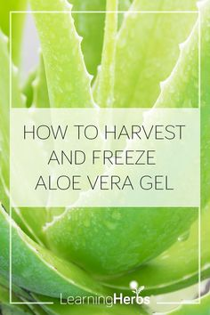 How to Harvest and Freeze Aloe Vera Gel – LearningHerbs - Modern Design Diy Aloe Vera Gel, Aloe Vera Uses, Aloe Uses, Healing Herbs, Medicinal Plants, Natural Healing, Natural Life, Natural Beauty, Natural Foods