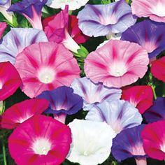 Annual Seeds - Ipomoea purpurea 'Lazy Luxe'