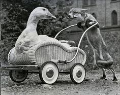 Let me take you for a ride said the Fox to the Duck :)