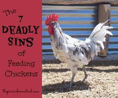 7 Things You Shouldnt Feed Your Chickens. Click for the full list: http://www.theprairiehomestead.com/2013/04/7-things-you-shouldnt-feed-your-chickens.html #chickens #homesteading