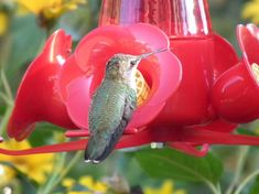 The Scary Reason Why You Should Never Ever Feed Hummingbirds Red Nectar…It's Not Clear Exactly What The Red Dye Is Doing To The Birds, But It's Definitely Impacting Their Ability To Fly, Which Is Vital To A Hummingbird's Survival…Click On Picture To Read More…