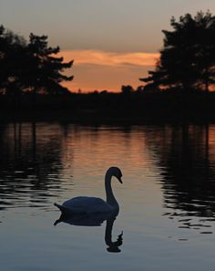Swan On Hatchet Pond by Harvey Squires, via 500px