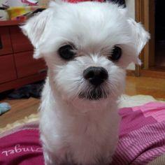 #puppy #pet #dog #반려동물 #강아지 #산이 #말티즈 목욕후 산이~ 털 좀 기르자! ^^