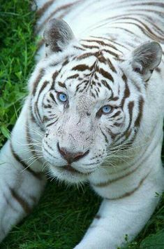 Tigre blanc by on DeviantArt Jungle Animals, Nature Animals, Animals And Pets, Pretty Cats, Beautiful Cats, Animals Beautiful, Cute Funny Animals, Cute Baby Animals, Cute Cats