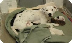#NEVADA ~ Candy is a 2 year old Dalmatian/Australian Cattle Dog mix available for adoption in #LasVegas. She is a very sweet girl that was rescued from a kill shelter. She needs a loving family! Candy is spayed, vaccinated, microchipped and comes with a free vet visit. Candy will be available for adoption on Saturday & Sunday from 10am-3pm at Petsmart located on 2140 N Rainbow Blvd. To #adopt Candy the pretty girl contact #Adopt a Rescue Pet at arprenee@gmail.com