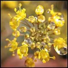 Small things up close: raindrops on fennel blossoms by lisakaebee