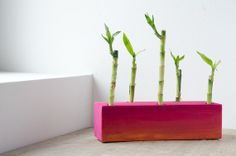 Valentines radiant gift  / Lucky bamboo in pink / by DecoBoxRo, $21.00