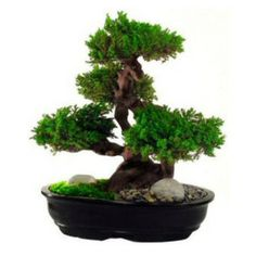 "Oriental-Décor - 20"" Monterey, Preserved Bonsai Tree - The Monterey Pine is one of the most widely cultivated trees in the world. They can b..."