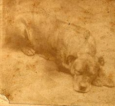 The only known picture of Sallie, loyal mascot of the 11th Pennsylvania. She refused to leave behind her wounded and dead companions when Union forces retreated on July 1st at Gettysburg. She accompanied the regiment through nearly the entire war, until she was killed in action at Hatcher's Run, Virginia, on Feb 5, 1865. Her life-size statue is on the regiment's monument at Gettysburg