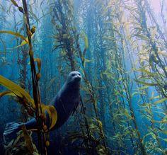seal and kelp