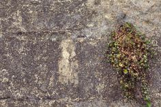 textured wall with plant growth Day Growth High Angle View Nature Nature_collection No People Old Walls Plant Stone Stone Wall Sunlight Textured  Tranquility Vines On Wall Walls