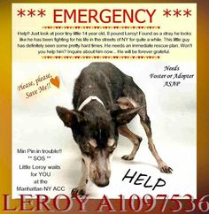 LEROY – A1097536 Very miserable starved dog needs Fosters, all costs will be covered. If you would like to foster or adopt and can't make it to the shelter, please write an email NOW to the Urgent Help Desk at: Helpdogs@Urgentpodr.org Their experienced volunteers will assist you one-on-one with rescues and the application process. Transport can be arranged by rescues to the homes of approved fosters or adopters within 3-4 hours of New York City