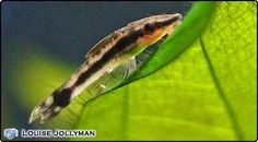 The Otocinclus is the best all rounder for small algae eaters; they are peaceful, will not harm plants, and can be kept with a wide range of fish sizes. The ideal tank for these fish would be a heavily planted environment with small, peaceful tankmates. There are a number of species of Otocinclus and a similar, but slightly yellow/brown species O. affinis is also often seen for sale. If natural algae is not available, suppliment the fish's diet with algae tablets or vegetable based foods.
