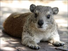 """That Serengeti Visitor Centre seems like a nice place.  Never heard of a hyrax having a """"shit-eating grin"""" though! :) Slides Only » Mit Schlafsack und Zelt in die Serengeti"""