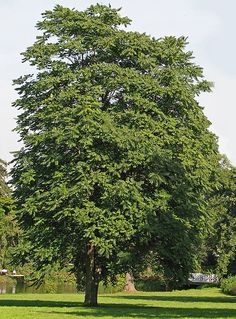 Ailanthus altissima. In China, the tree of heaven has a long and rich history. It was mentioned in the oldest extant Chinese dictionary and listed in countless Chinese medical texts for its purported ability to cure ailments ranging from mental illness to baldness.