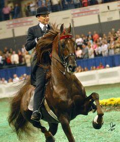 American Saddlebred-(SA) CCV Casey's  Final Countdown