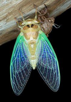 "Floodplain Cicada - ""Tibicen cultriformis"", Las Cienegas National Conservation Area (Arizona)"