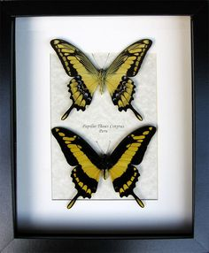 King Swallowtail Real Butterfly Papilio Thoas Cinyras From Peru In Museum Quality Display by ButterfliesArtist on Etsy
