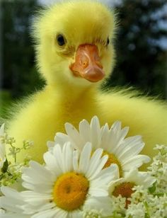 Stunning Picz: Bright Yellow Fuzzy Baby Duck