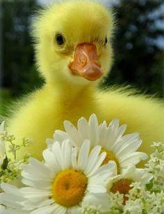 Stunning Picz: Bright Yellow Fuzzy Baby Duck