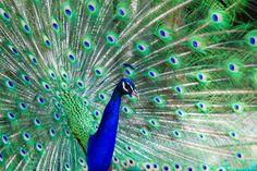 Michael Bentley - Preening Peacock
