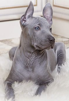 Thai Ridgeback is an ancient dog breed formerly known only in Thailand. They have a line of hair running along the back in the opposite direction to the rest of the coat. They are intelligent, muscular, strong, agile, loyal, positive and loving family pet. They have a protective nature so they have to be properly trained and socialized.