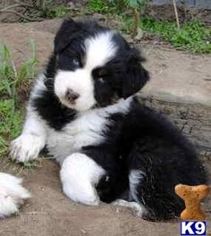 Black bicolor Australian Shepherd puppy