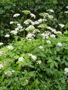 vuohenputki Flora, Herbs, Plants, Garden, Wild Plants, Perennials, Shrubs, Flowers, Nature