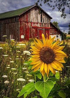 Old Barn beautiful by Meadow Flowers and cheerful Sunflower. Country Barns, Country Life, Country Living, Country Roads, Country Charm, Country Farmhouse, Barn Pictures, Pretty Pictures, Pictures Of Flowers