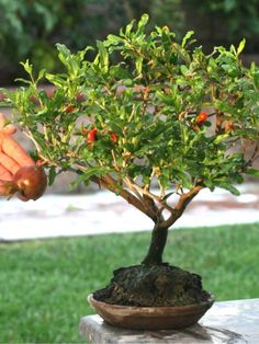 Dwarf pomegranate bonsai tree punica